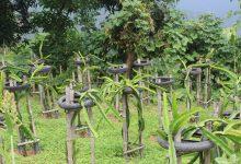 Photo of 'ड्रागन' खेतीमा रमाएका धनकुटे किसान