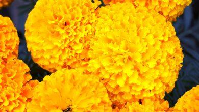 Photo of तिहारमा भारतबाट फूल नल्याइने