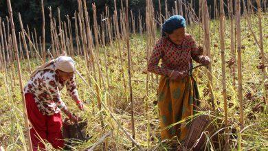 Photo of कोदो खेती प्रवर्द्धन गर्न लगानी बढाउँदै पाल्पाका स्थानीय तह