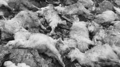 Photo of जुम्लामा चट्याङले चालिस भेडा मरे